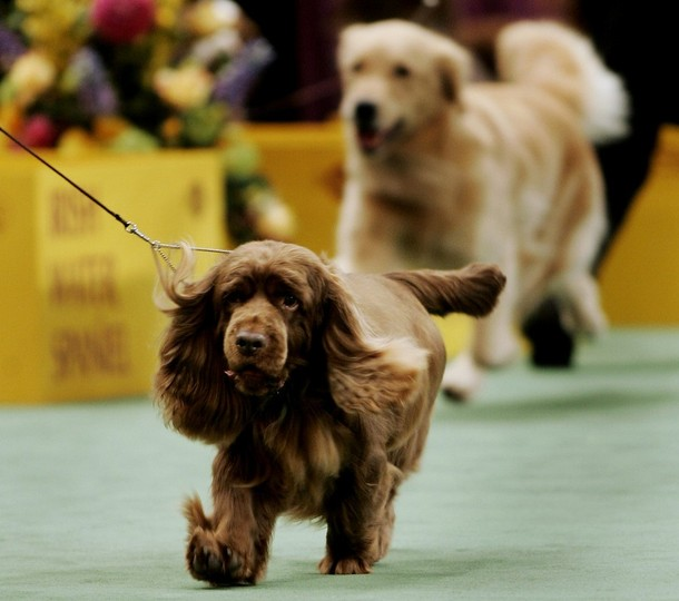 Westminster Dog Show 2009 Winner
